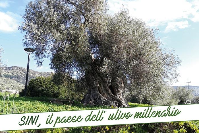 sini olivo millenario